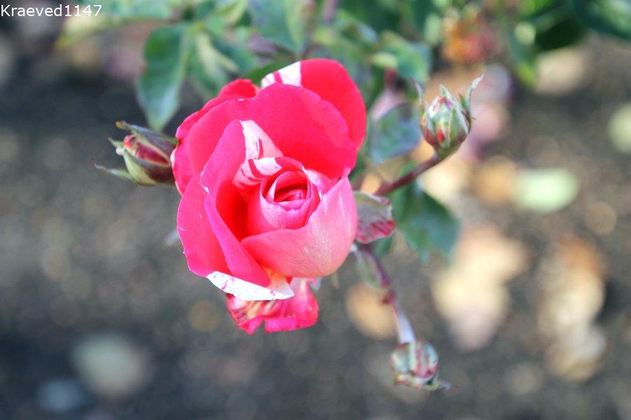 Розы. Мичуринск. Парк